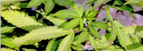 Proposition de loi sur la légalisation du cannabis – Pour en finir avec les trafics et maîtriser enfin cette question de santé publique !