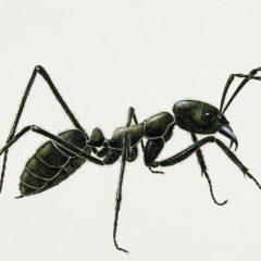 Une fourmi petite mais costaud.